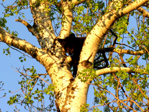 A black bear cub sits high atop a tree